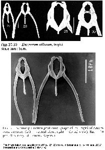 Segers, H (1998): Belgian Journal of Zoology 128